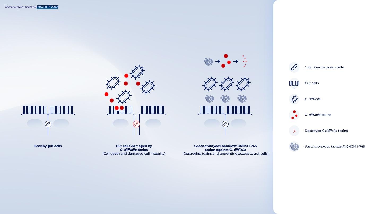 image https://www.saccharomycesboulardii.com/wp-content/uploads/2020/06/C-difficile-and-S-boulardii-CNCM-I-745-150x150.jpg