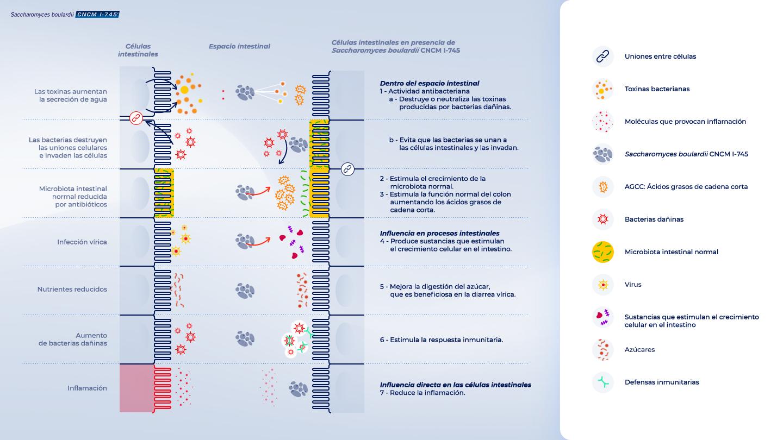 image https://www.saccharomycesboulardii.com/wp-content/uploads/2020/08/Saccharomycesboulardii-CNCM-I-745-mecanismos-de-acción-150x150.jpg