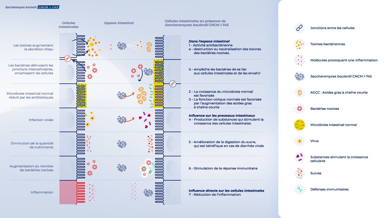 image https://www.saccharomycesboulardii.com/wp-content/uploads/2020/08/Schema_FR_MOA2-150x150.png