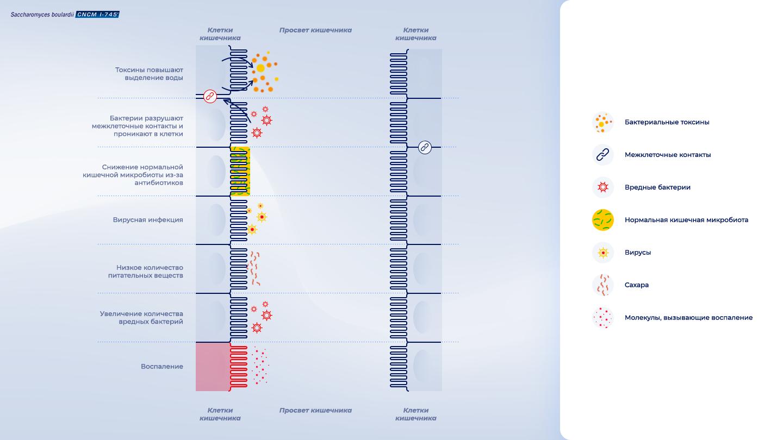 image https://www.saccharomycesboulardii.com/wp-content/uploads/2020/08/Schema_RU-moa-150x150.png