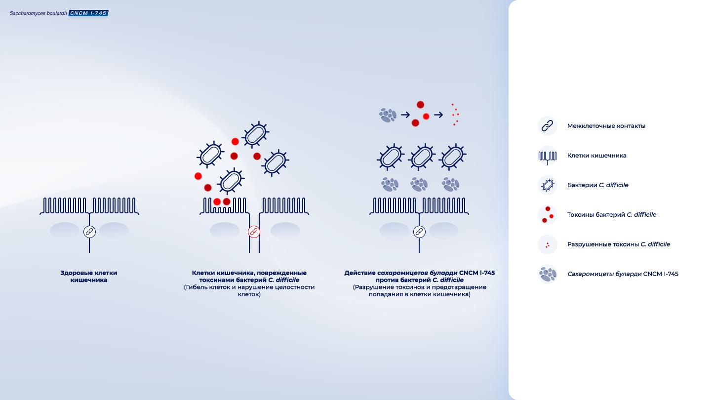 image https://www.saccharomycesboulardii.com/wp-content/uploads/2020/08/Schema_RU_CD-150x150.png