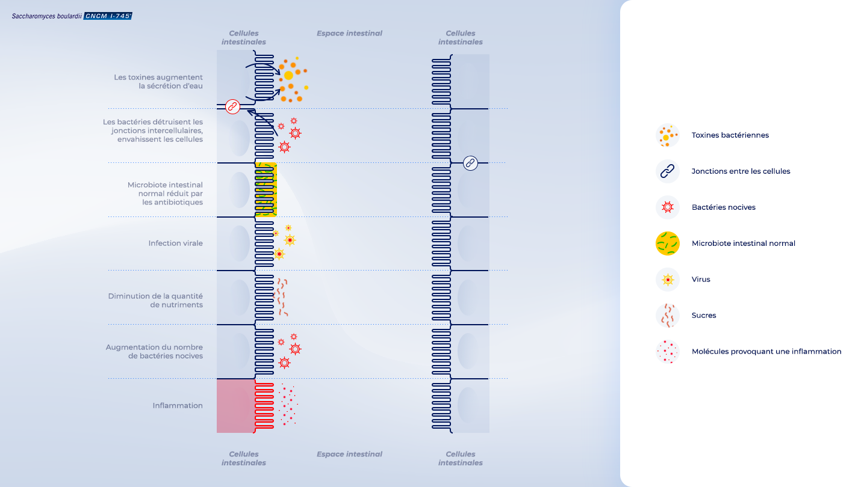 image https://www.saccharomycesboulardii.com/wp-content/uploads/2020/12/FR_MoA_Infographic_1-150x150.png